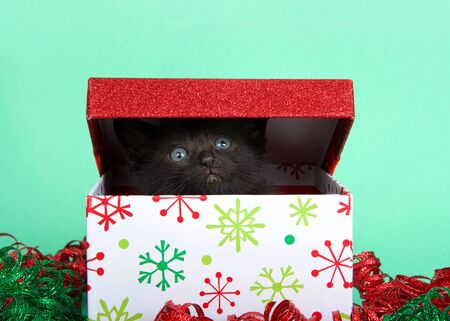 black kitten popping out of a christmas holiday box looking up and to viewers right. Red and green sparkly curly ribbon around the box. Green background.