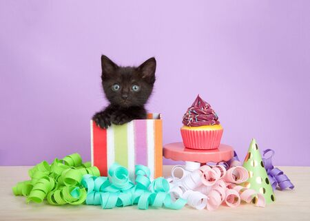 black  kitten in colorful striped birthday present box with cup cake and streamers on a wood floor, purple background. Kitten meowing looking directly at viewer.