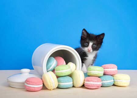 black  and white tuxedo kitten sitting next to  a cookie jar with macaroon cookies strewn about on the table. Kitten reaching towards cookies, looking directly at viewer. Blue background. Archivio Fotografico