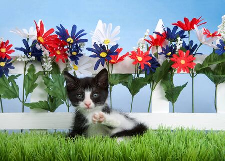 Small black and white tuxedo kitten laying in green grass in front of picket fence with red, white and blue flowers, light blue sky background. Leg up in the air as if exercising.