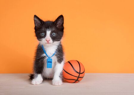 Tuxedo kitten sitting on a wood floor next to a kitty sized basketball wearing a blue whistle, looking directly at viewer. Orange background.