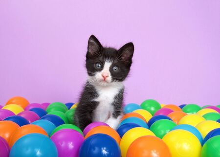 Tuxedo kitten sitting in a layer of colorful plastic ball pit balls looking directly at viewer, head tilted slightly to viewers left with curiosity. Purple background. Stock fotó