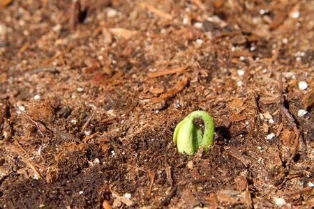 Organic home garden with first green bean sprouting, unfolding as it emerges from the soil.