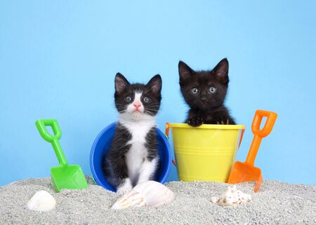 black kitten and a tuxedo kitten in sand buckets with shovels and beach balls, looking around. Blue background. Sea shells in sand.