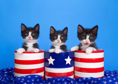 Three black and white tuxedo kittens in red and white striped canisters and blue with stars and stripes, looking directly at viewer. Blue star soft fabric draped around with blue background.
