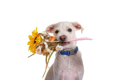 Adorable terrier mix puppy holding a bouquet of flowers in his mouth looking at viewer with longing expression, isolated on white.