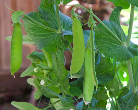 Snow Peas hanging on the vine in backyard garden. Close up.