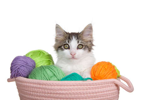 Adorable grey and white long haired tabby kitten popping out of a basket of yarn, looking directly at viewer. Isolated on white.