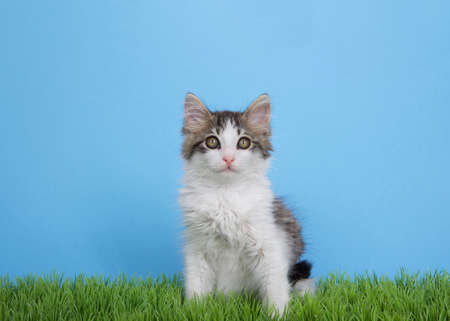 Adorable gray and white long haired fluffy kitten sitting in green grass looking at viewer. Blue background with copy space. Zdjęcie Seryjne