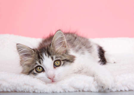 Adorable gray and white kitten laying on sheepskin blanket looking directly at viewer. Pink background with copy space Zdjęcie Seryjne