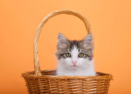 Adorable gray and white kitten peaking out of a brown wicker basket with handle looking directly at viewer. Orange background. Zdjęcie Seryjne