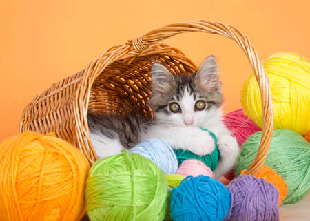 Adorable gray and white kitten peaking out of a brown wicker basket with handle surrounded by balls of yarn, looking directly at viewer holding green ball of yarn. Orange background. Stock Photo