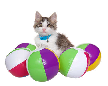 Grey and white long haired tabby kitten wearing a blue collar with bell surrounded by small beach balls, isolated on white.