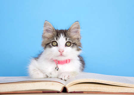 Adorable gray and white kitten wearing a pink collar with bell, curled up on a storybook looking at viewer. Blue background with copy space. Zdjęcie Seryjne