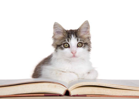 Adorable gray and white kitten curled up on a storybook looking at viewer. Isolated on white.