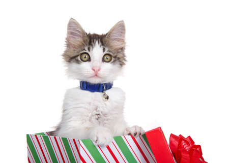 Close up Grey and white long haired tabby kitten wearing a blue collar with bell, popping out of a green red and white striped Christmas present with lid and bow propped up against the box. Isolated.