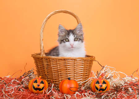 Adorable gray and white kitten peaking out of a brown wicker basket with handle in orange and brown straw with jack o lantern tiny pumpkins, looking directly at viewer. Orange background.