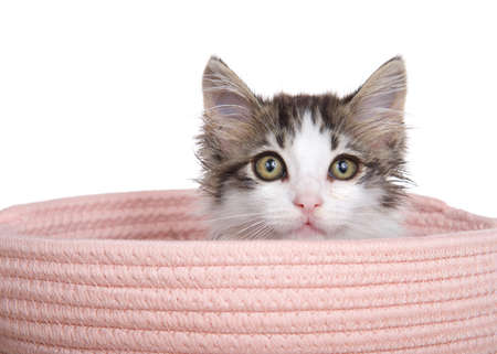 Adorable long haired grey and white tabby kitten peaking out of a pink yarn woven basket, looking at viewer. Isolated on white. Zdjęcie Seryjne