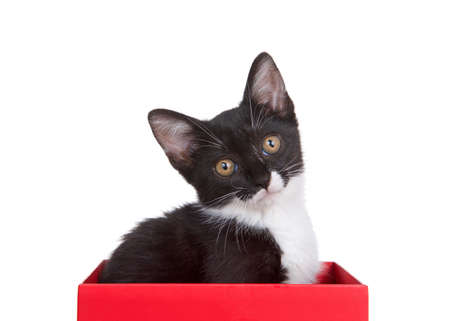 Black and white tuxedo kitten sitting in a red box looking quizzically at viewer, head tilted. Isolated on white