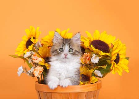 Norwegian Forrest Cat kitten peaking out of an orange basket with sunflowers behind her, looking around. Autumn orange background.
