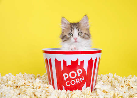 Norwegian Forrest Cat kitten in a red and white striped popcorn bucket surrounded by freshly popped popcorn, looking around. Paw on edge of bucket. Bright yellow background.