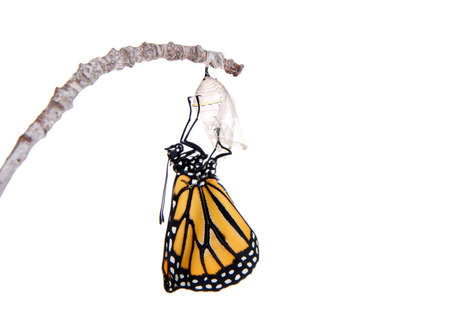 Close up of one Monarch Butterfly just emerged from chrysalis hanging on a small branch, wings bent from confinement.  Isolated on white.