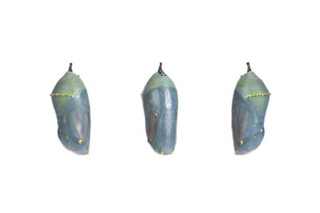 Close up of a monarch butterfly chrysalis one day before emerging as the chrysalis becomes transparent, butterfly begins to be visible inside. isolated on white. Three views front and sides.