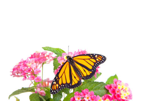 Close up of one Monarch butterfly resting on pink and yellow lantana flowers, isolated on white. Wings open.
