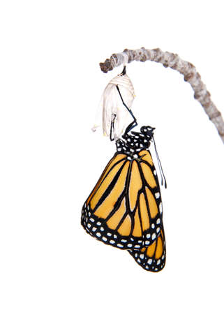 Close up of one Monarch Butterfly just emerged from chrysalis hanging on a small branch. Wings fully extended, drying. Isolated on white.