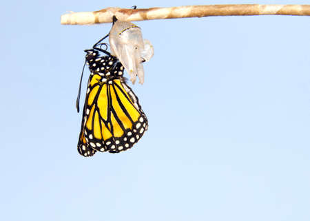 Close up of one Monarch Butterfly hanging from a chrysalis, wings slowly extending, wings fully extended, but not yet open. Light blue background.