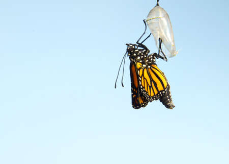 Close up of one Monarch Butterfly hanging from a chrysalis, wings slowly extending, wings still curled tightly. Light blue background.