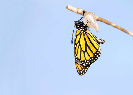 Close up of one Monarch Butterfly hanging from a chrysalis, wings slowly extending, wings fully extended, but not yet open. Light blue background. Banque d'images