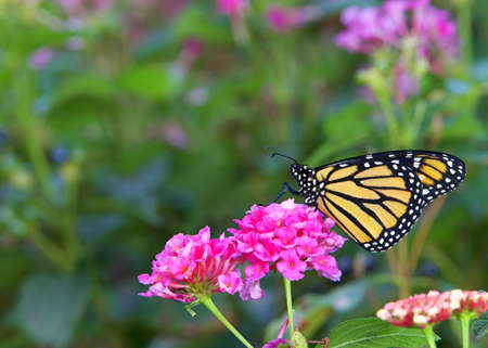Close up profile view of one Monarch butterfly sitting on pink lantana flowers. Imagens