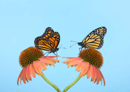 Two monarch butterflies face to face on cone flowers facing  each other, stems starting in same place. Light blue background with copy space.