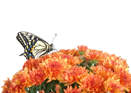 Profile view of one Old World, or Yellow Swallowtail butterfly perched on orange mums flowers, isolated on white.