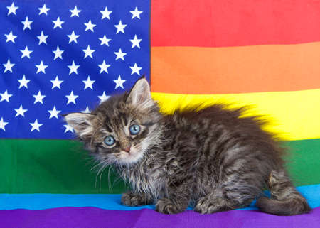 Adorable little kitten sitting comically on a rainbow colored Gay Pride American flag, looking slightly down to viewers right. 版權商用圖片