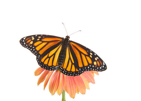 Close up of one female Monarch butterfly with wings open on top of a pink and peach colored cone flower. Top view isolated on white.