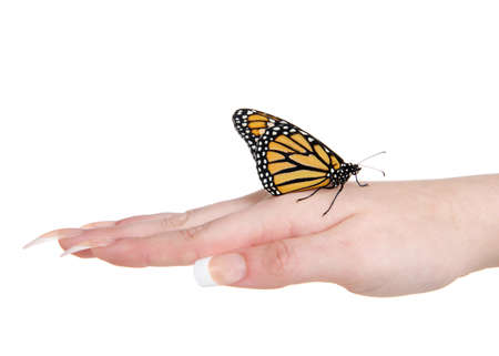 Close up of one female Monarch butterfly profile view standing on top of the back of a young female caucasian hand.  isolated on white. 版權商用圖片