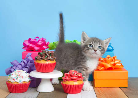 Cute gray and white kitten standing next to birthday presents looking up, surrounded by colorful boxes with bows, pedestal with cup cakes in on a rustic colored wood floor. Blue background