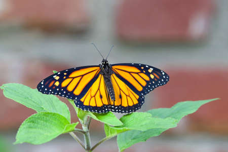 One male monarch butterfly with wings wide open resting on fresh green leaves of pineapple sage plants. Red brick wall in background.