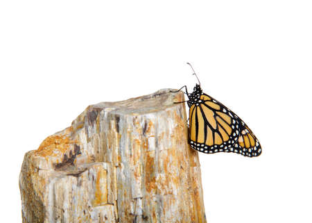 Close up of one female Monarch butterfly holding onto the side of a rock. Profile view, isolated on white. Imagens