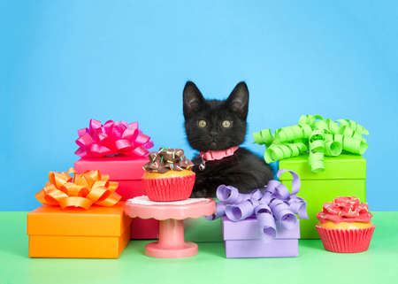 Adorable black kitten wearing a pink collar with bell sitting in a present box surrounded by colorful presents with festive bows, cupcake on pedestal and cupcakes on floor. Green floor blue background