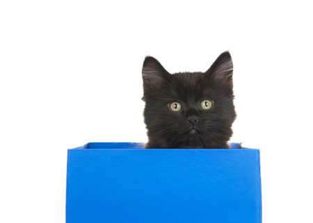 Black kitten sitting in a blue box looking at viewer isolated on white