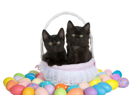 Adorable black kittens sitting in a white easter basket with lace lining surrounded by easter eggs. Kittens looking directly at viewer, one paw on side of basket. Isolated on white.