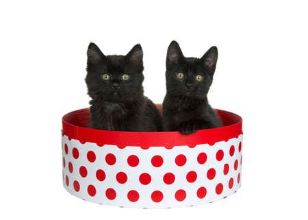 Two adorable black kittens sitting in a round white box with red polka dots, one with paw on side of box looking directly at viewer. Pink background. Fun animal antics