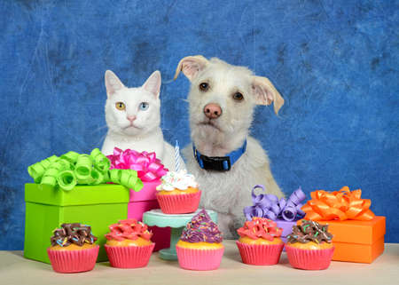 White kitten with heterochromia, odd-eyes, sitting next to cream colored terrier puppy dog wearing a blue collar in front of a light wood table with birthday presents and cup cakes. Animal bday party, Imagens