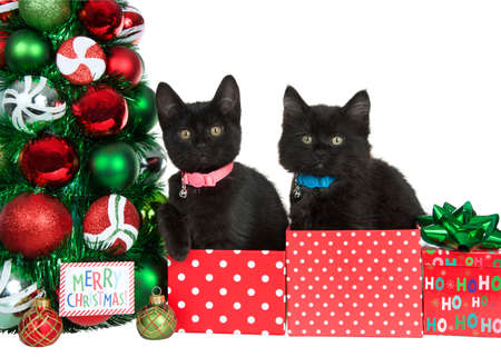 Two adorable black kittens wearing collars with bells sitting in red and white polka dot present boxes next to a Christmas tree, Merry Christmas label by ornaments. Isolated on white.