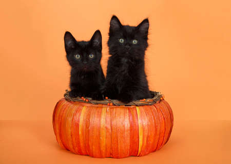 Two adorable little black kittens looking directly at viewer, sitting in an orange pumpkin shaped basket on an orange background. Paws on edge of basket.