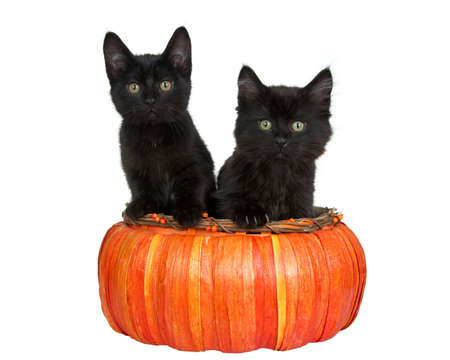 Two adorable little black kittens looking directly at viewer, sitting in an orange pumpkin shaped basket paws on edge of basket. Isolated on white. Imagens