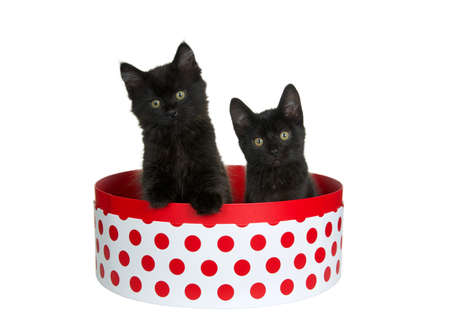 Two adorable black kittens sitting in a round white box with red polka dots, one with paw on side of box head stilted curiously looking directly at viewer. Isolated on white. Fun animal antics